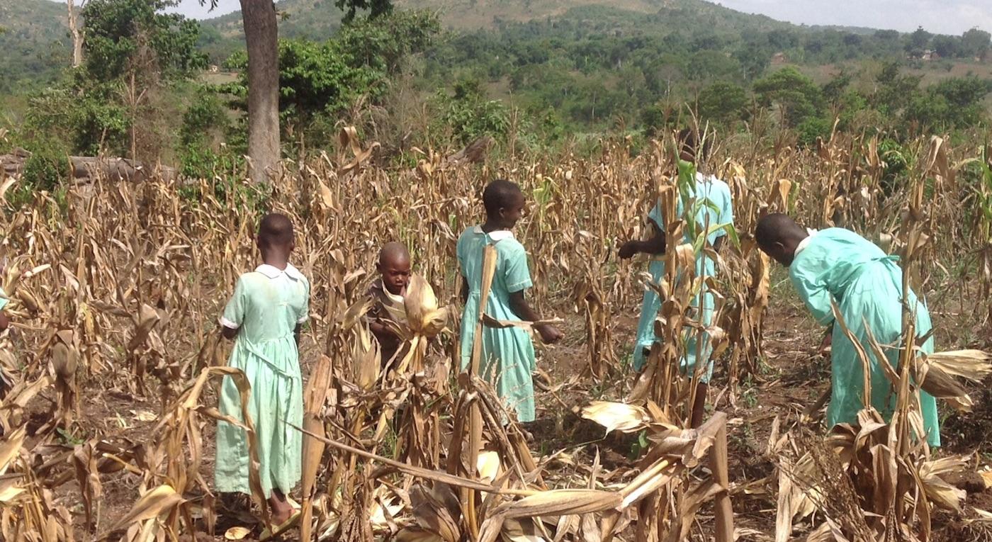 wambale harvesting-corn